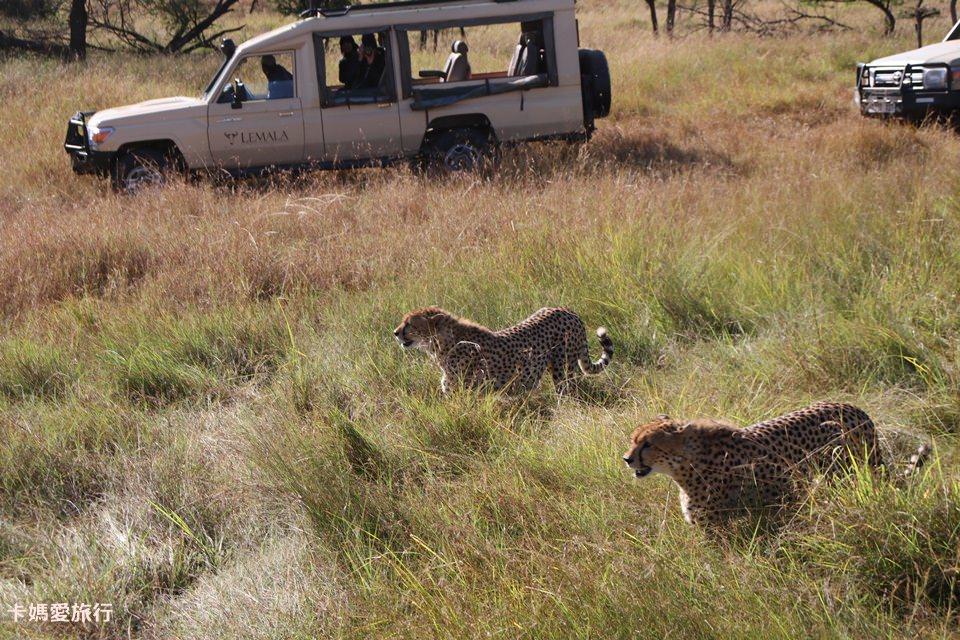 [坦尚尼亞]  Tanzania Northern Serengeti Safari – 北部獵遊(下) 獵豹、班馬、角馬大遷徙